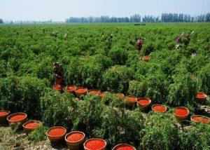 Выращивание семян Годжи в Китае